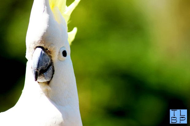 Cockatoo in Northern Sydney