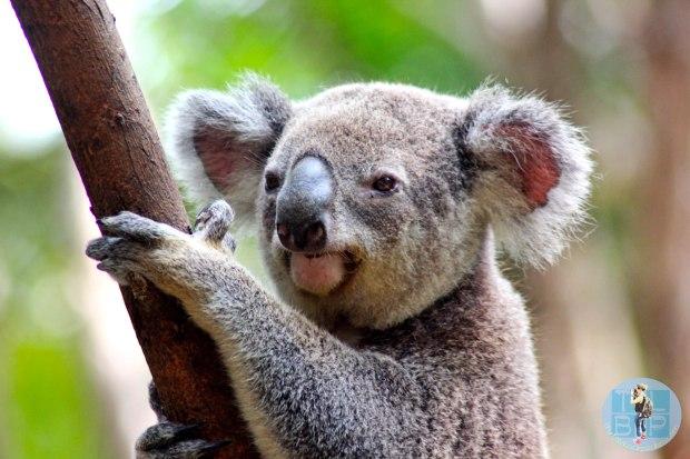 Koala Currumbin Sanctuary
