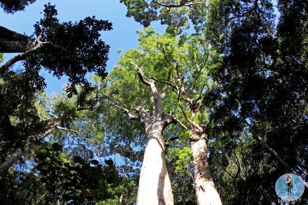 Looking up in Binna Burra